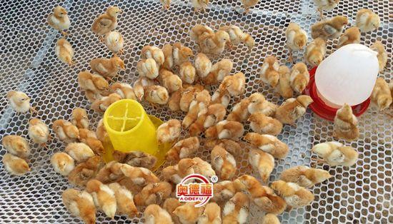 点击查看雷火app可靠吗<br>标题:养殖菜鸡幼雏 阅读次数:3993